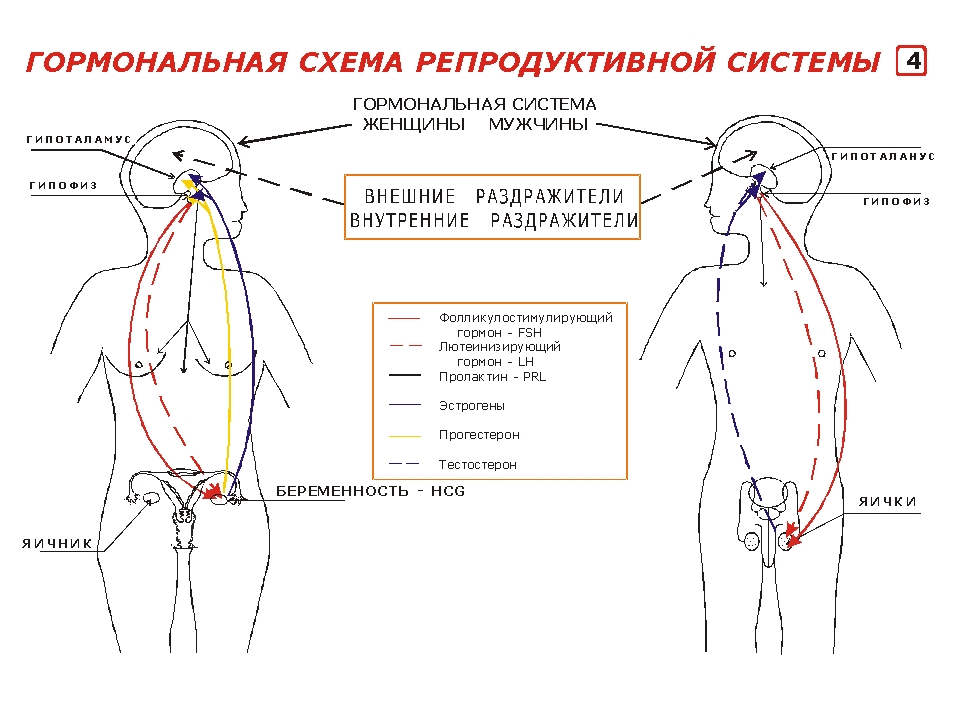 Система Репродуктивная