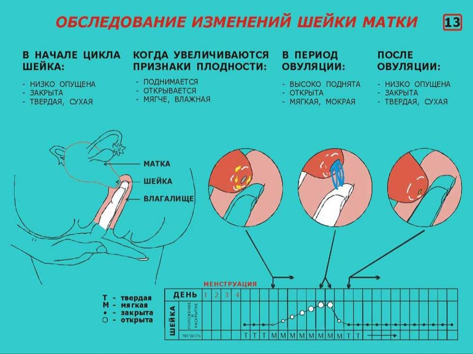Шейка матки за день до месячных при беременности