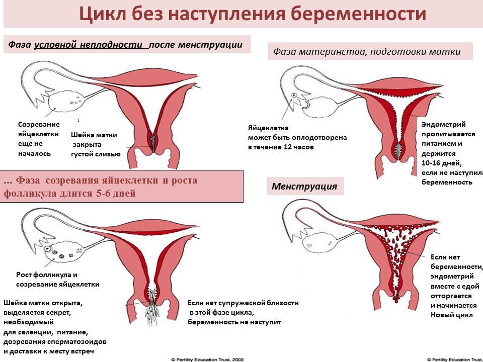 в 60% менструальных циклов